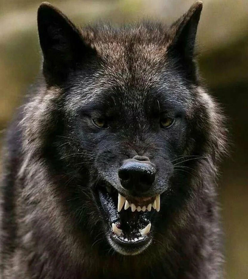 Картинки с волками (12)