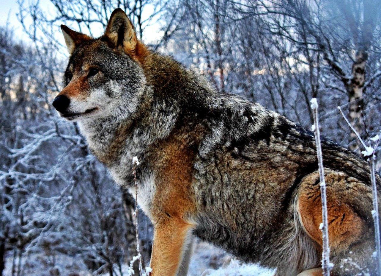 Картинки с волками (13)