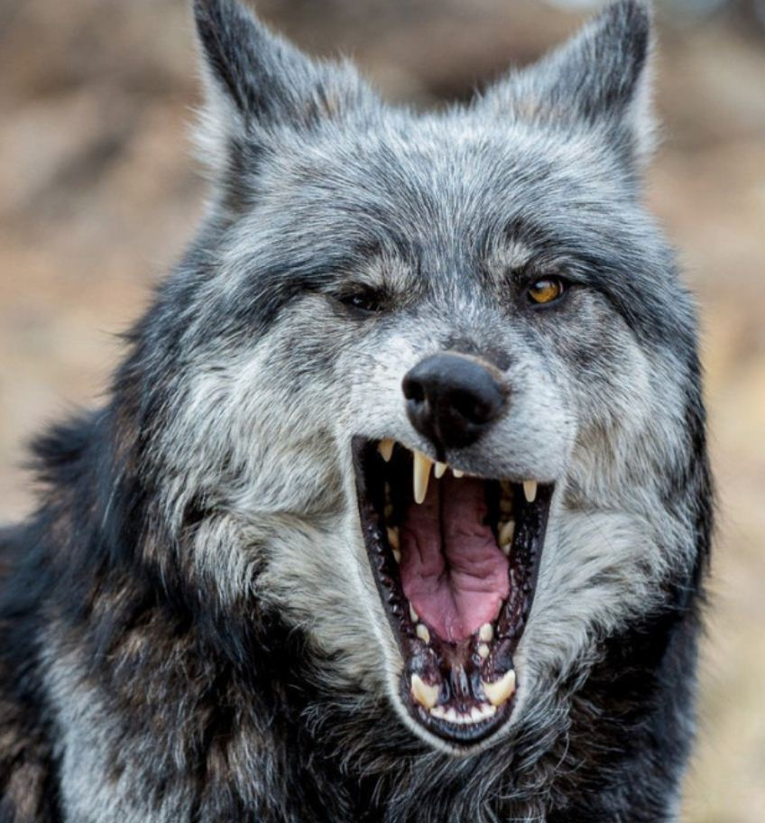 Картинки с волками (14)