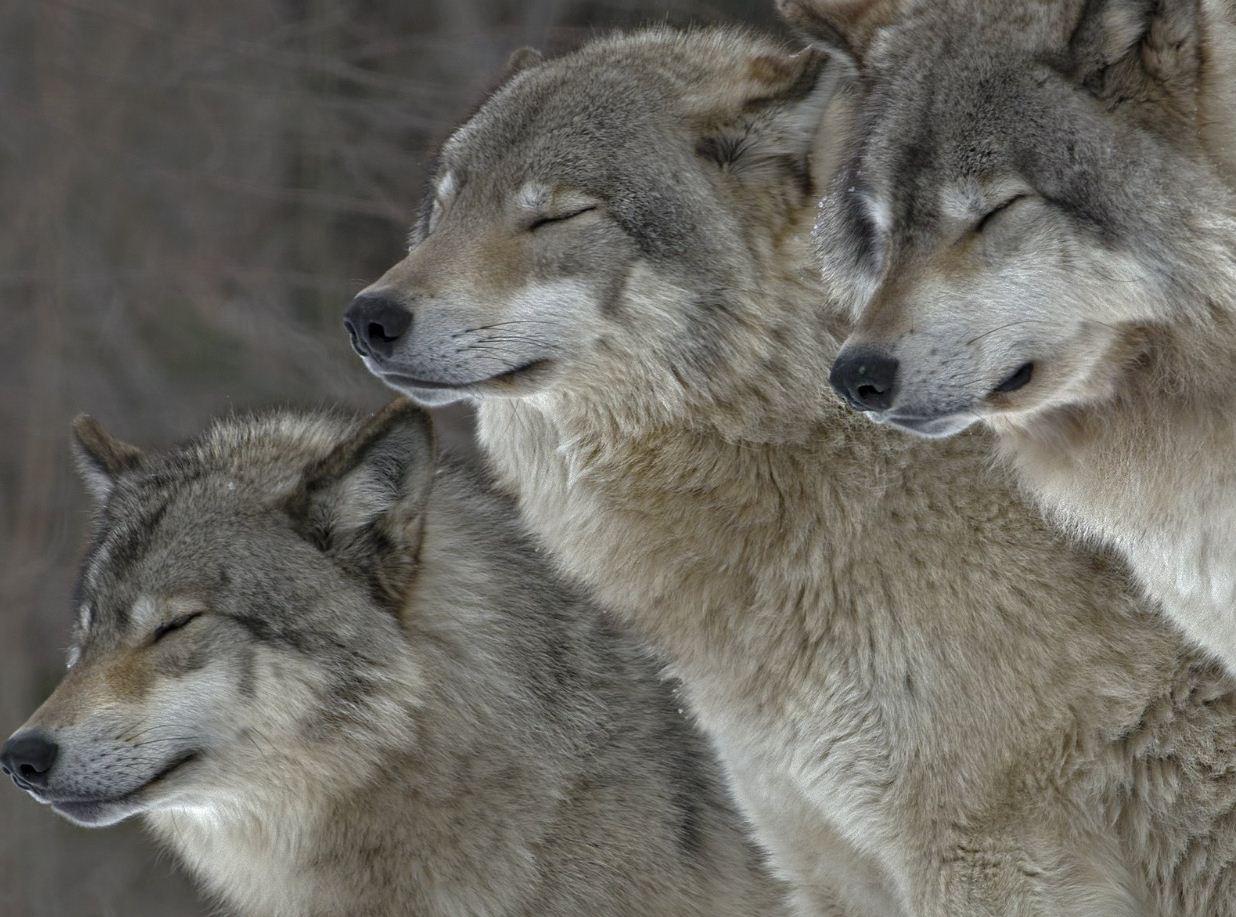 Картинки с волками (16)