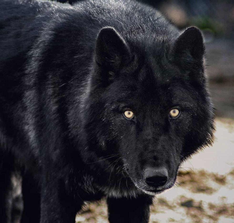 Картинки с волками (17)