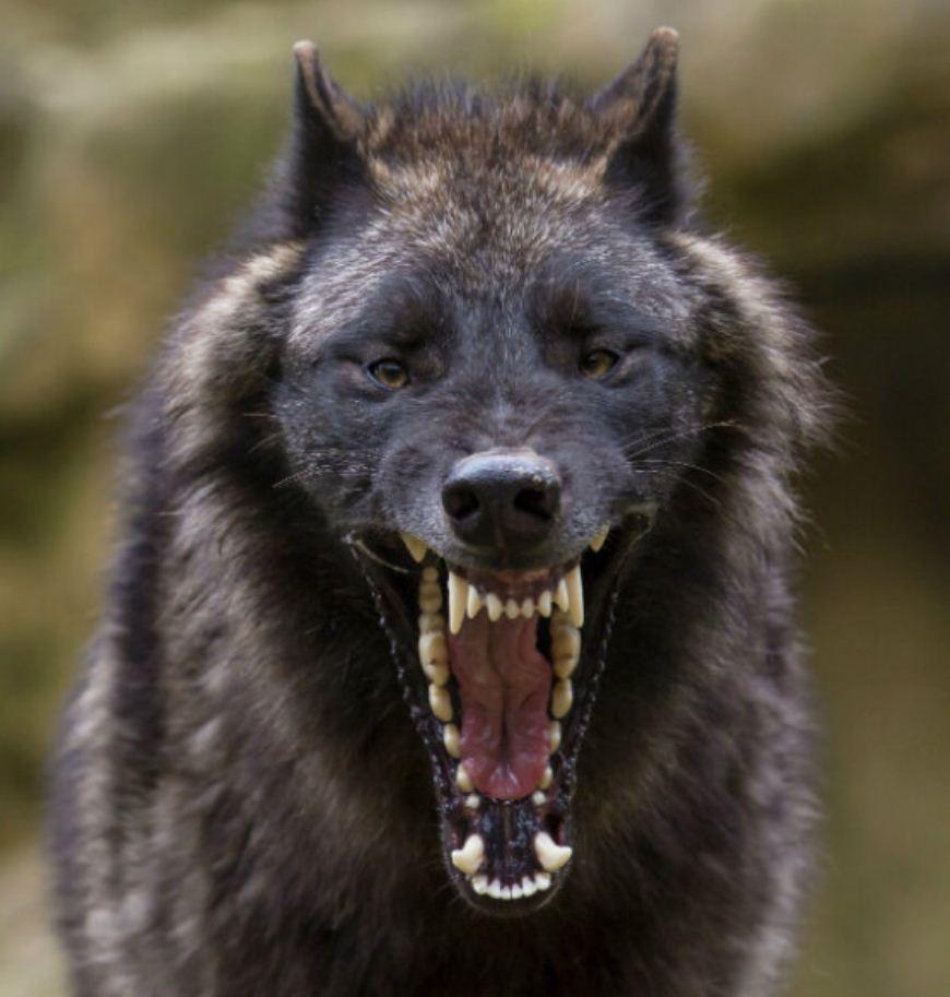 Картинки с волками (18)