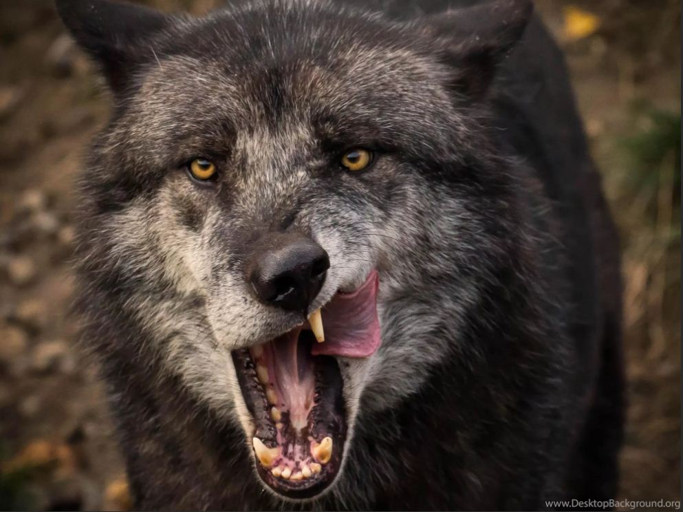 Картинки с волками (2)