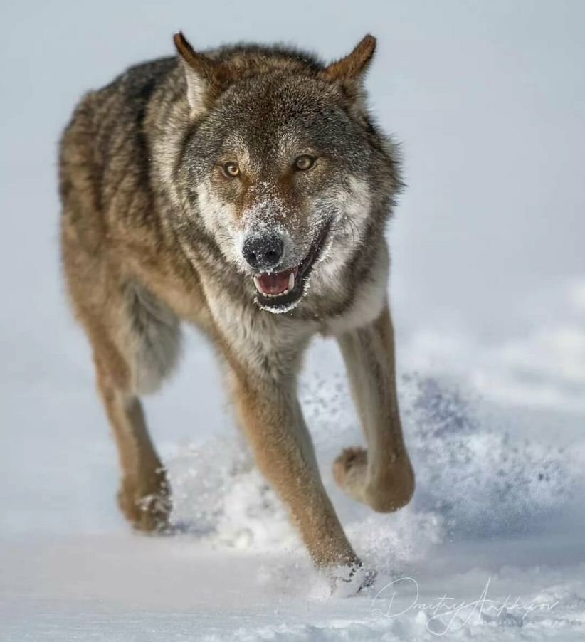 Картинки с волками (20)