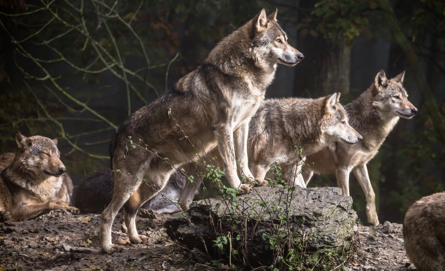 Картинки с волками (21)