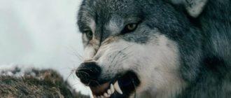 Картинки с волками (22)