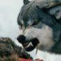 Картинки с волками — оскал волчьей пасти (красивые фото)