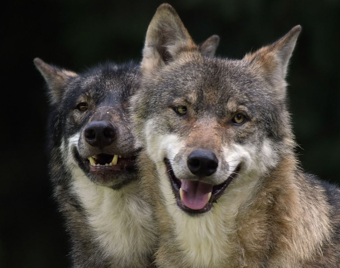 Картинки с волками (23)