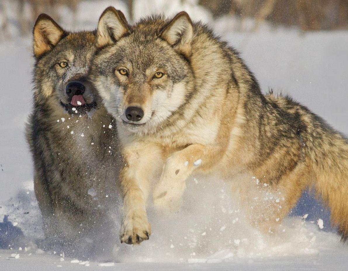Картинки с волками (25)