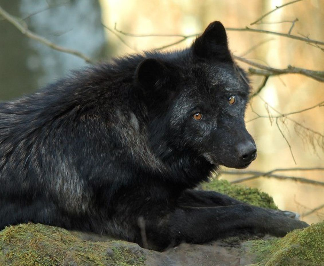 Картинки с волками (27)
