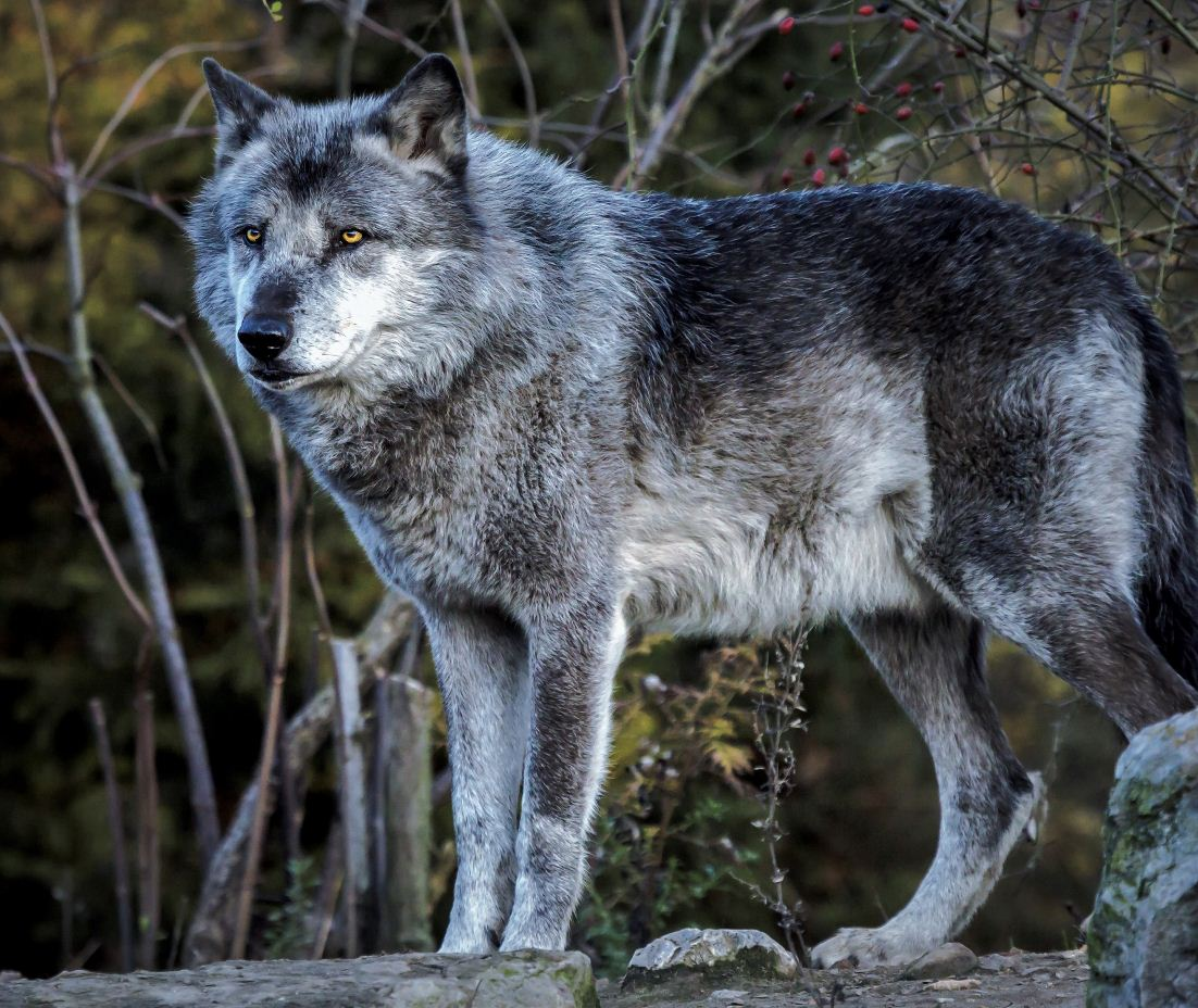 Картинки с волками (4)