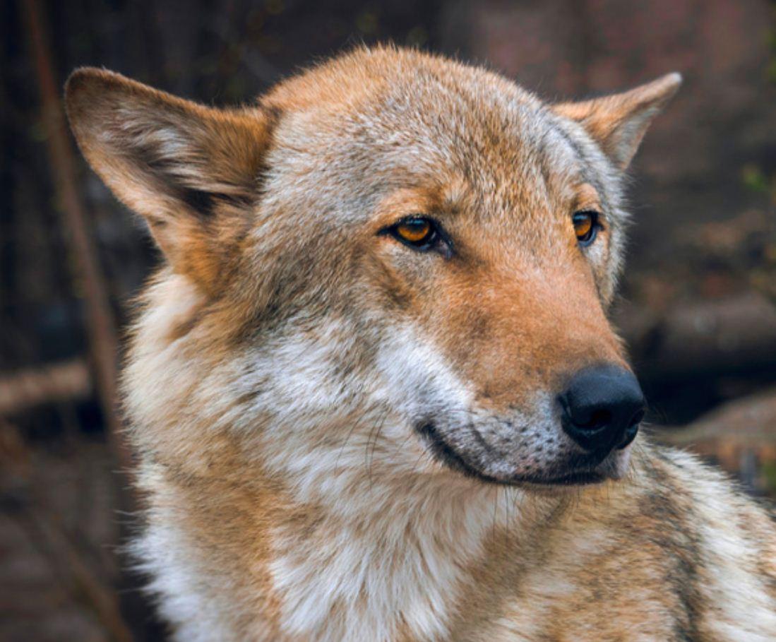 Картинки с волками (5)