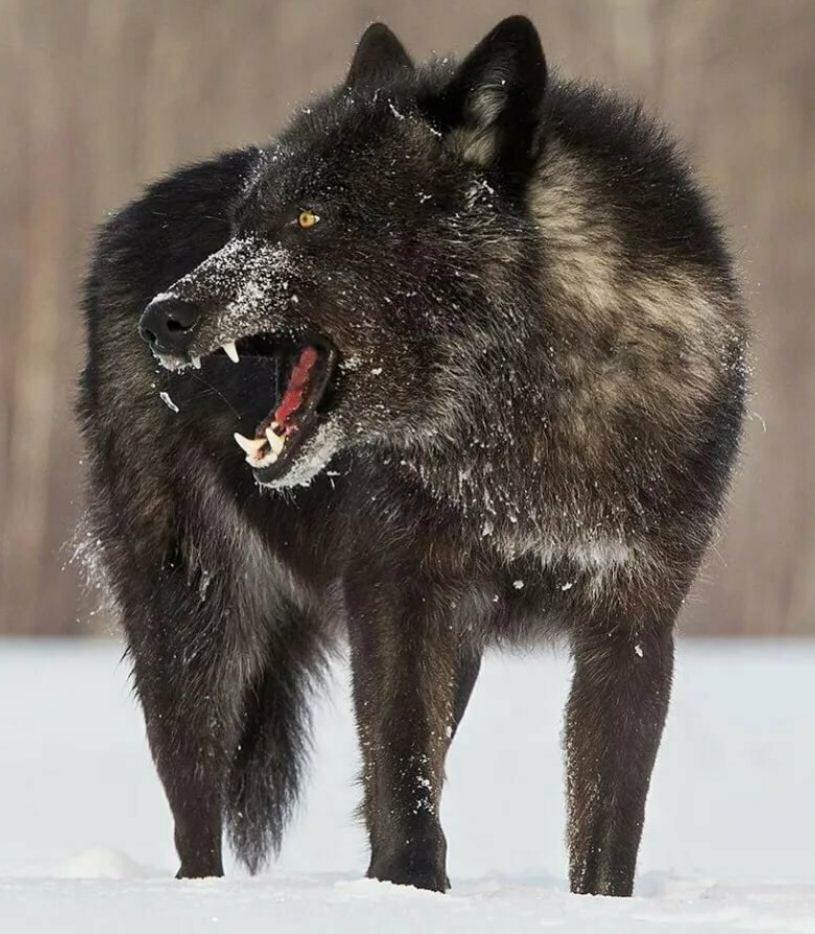 Картинки с волками (7)