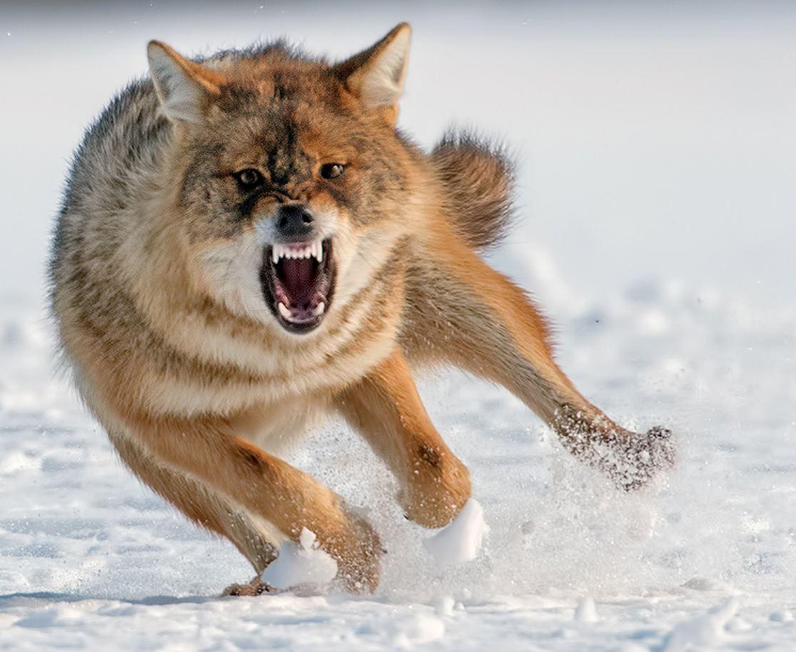 Картинки с волками (9)