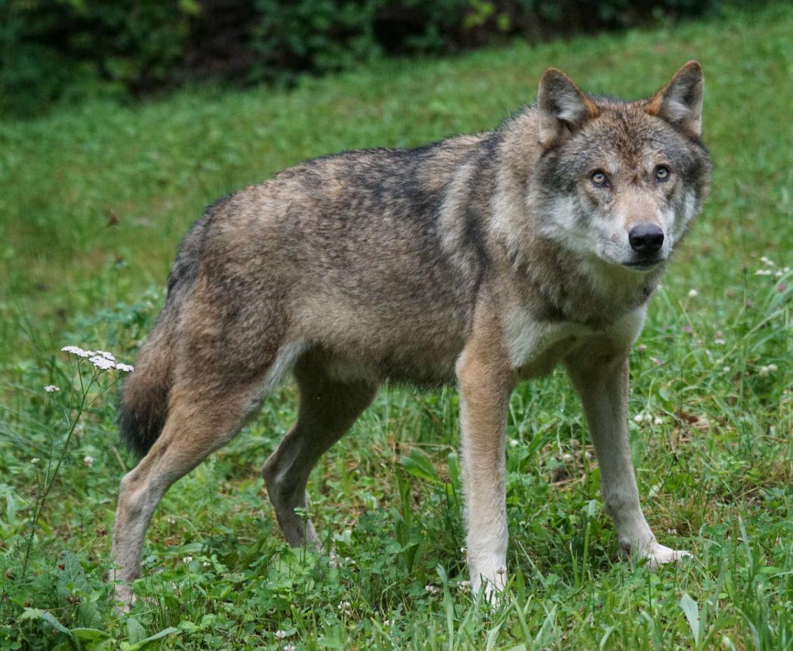 Картинки с волками